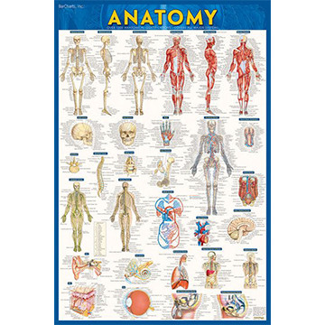 Image For Barcharts - Anatomy Poster